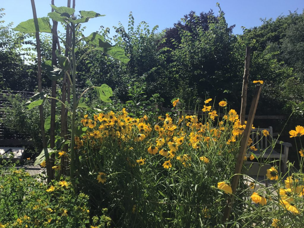 Perennial coreopsis, St John's wort and sunflowers growing tall.